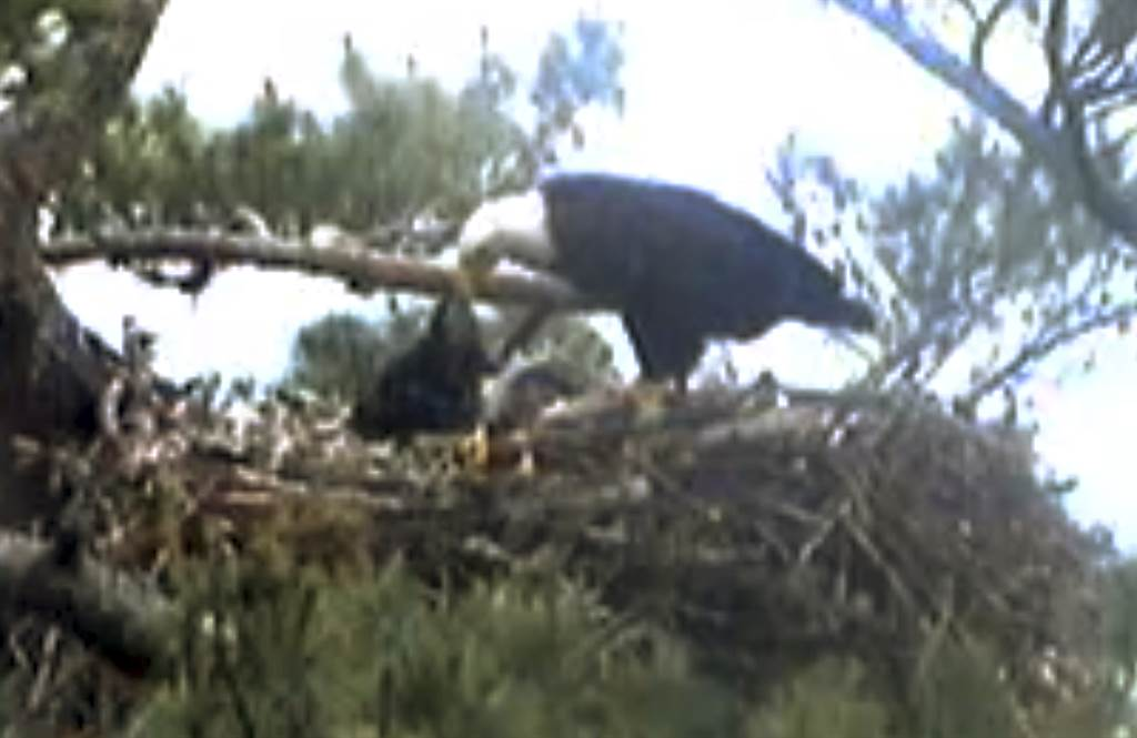 Viewers find it disturbing watch baby eagle dying on webcam