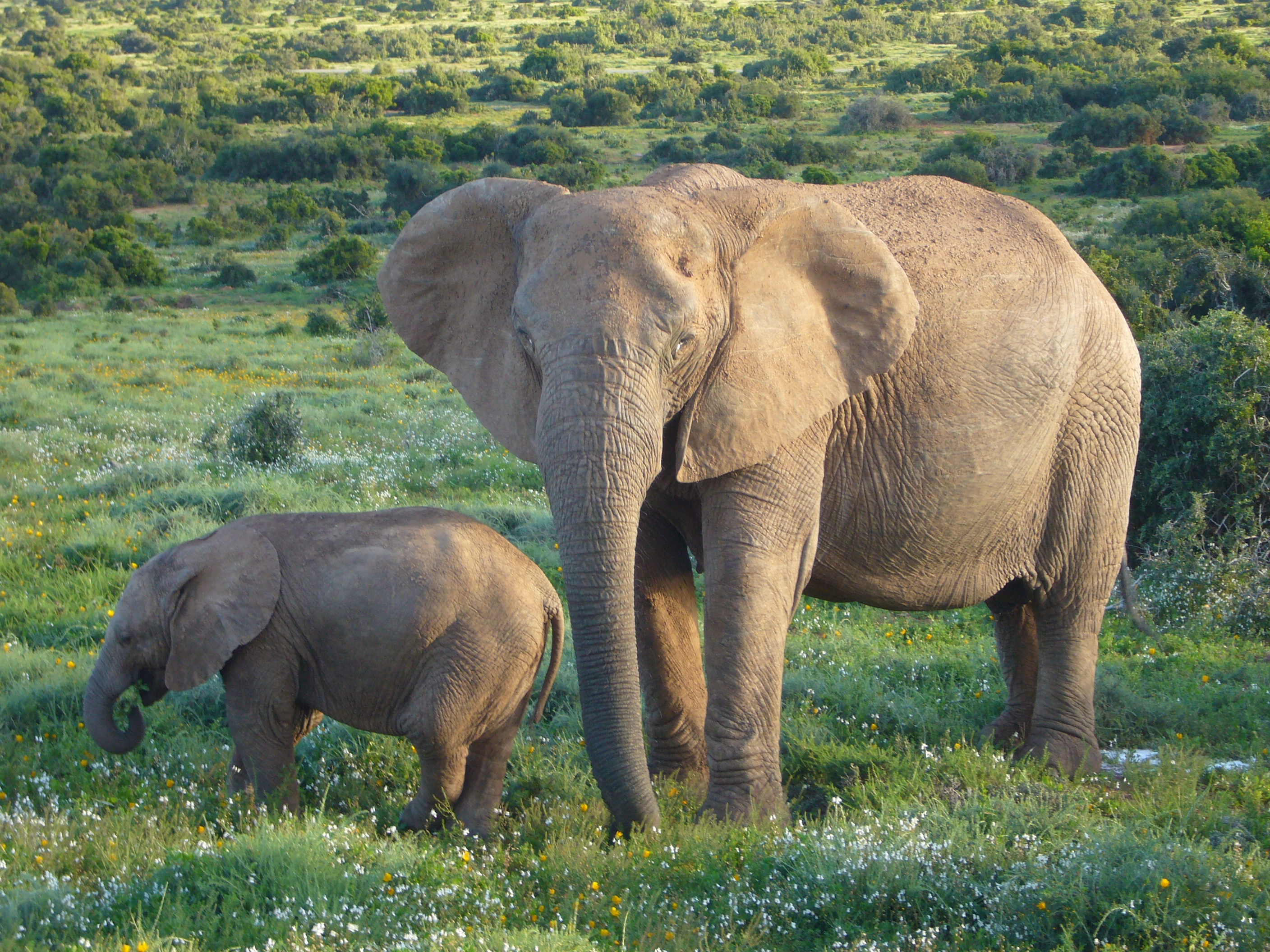 african elephant smell odor genes