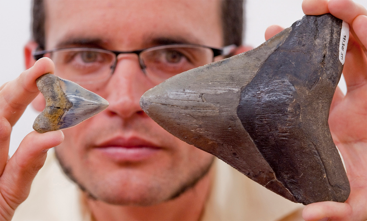 4.Megalodon_tooth_and_modern_shark_