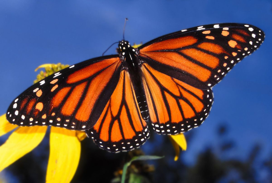 Monarch-butterfly-annual-migration
