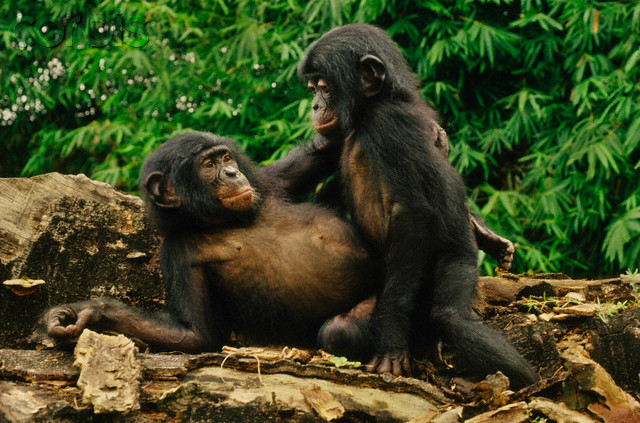 Chimpanzees Play-mating