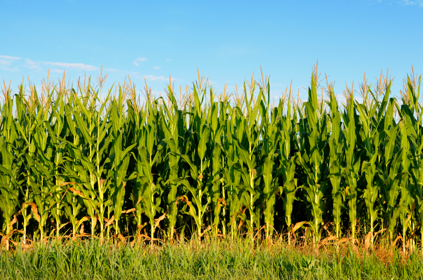 Parchem-2012-Corn-Field