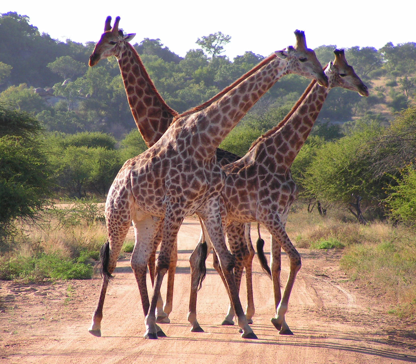 South_African_Giraffes_fighting