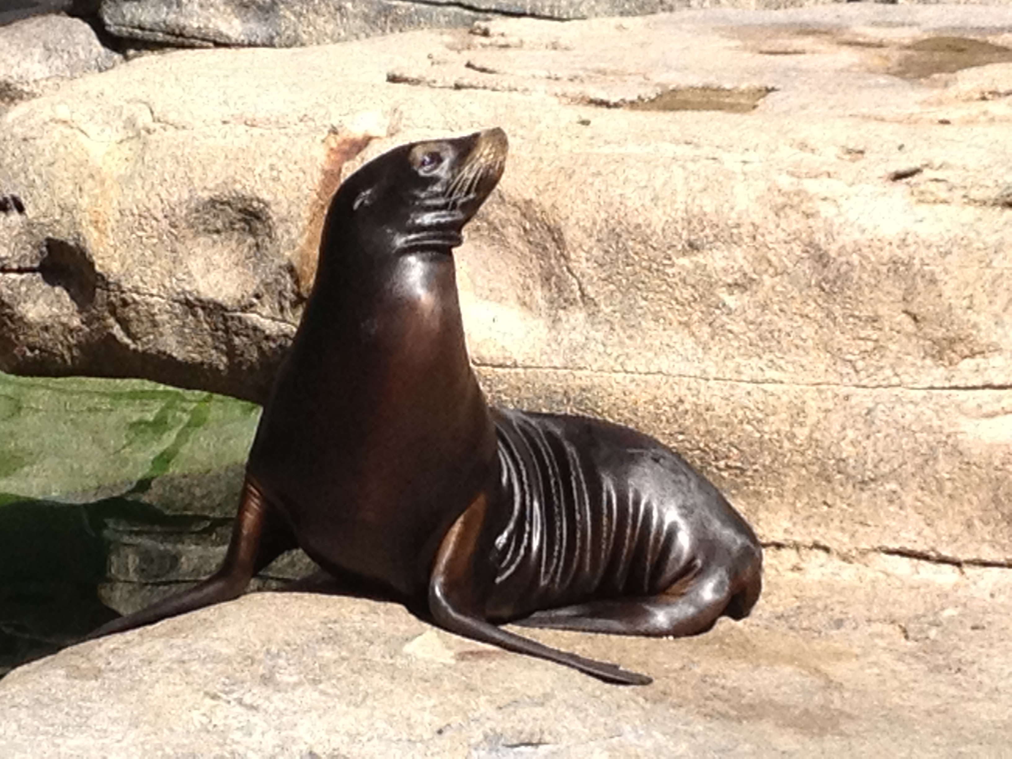 The unprecedented death of young Sea Lions in California