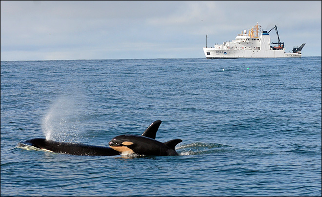 Fourth Baby Born To an Endangered Population of Killer Whales