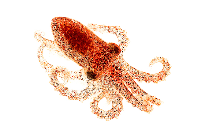 Octopus Has Little Use Of Eyes, They Can See With Their Skin