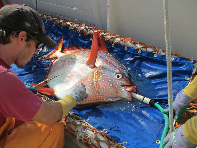 Scientists have discovered the first haemothermic or warm blooded fish