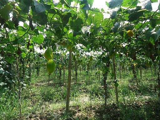 sustainable_agriculture_practice_rangunia_chittagong_01