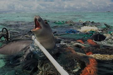 Seal Trapped in Plastic Pollution