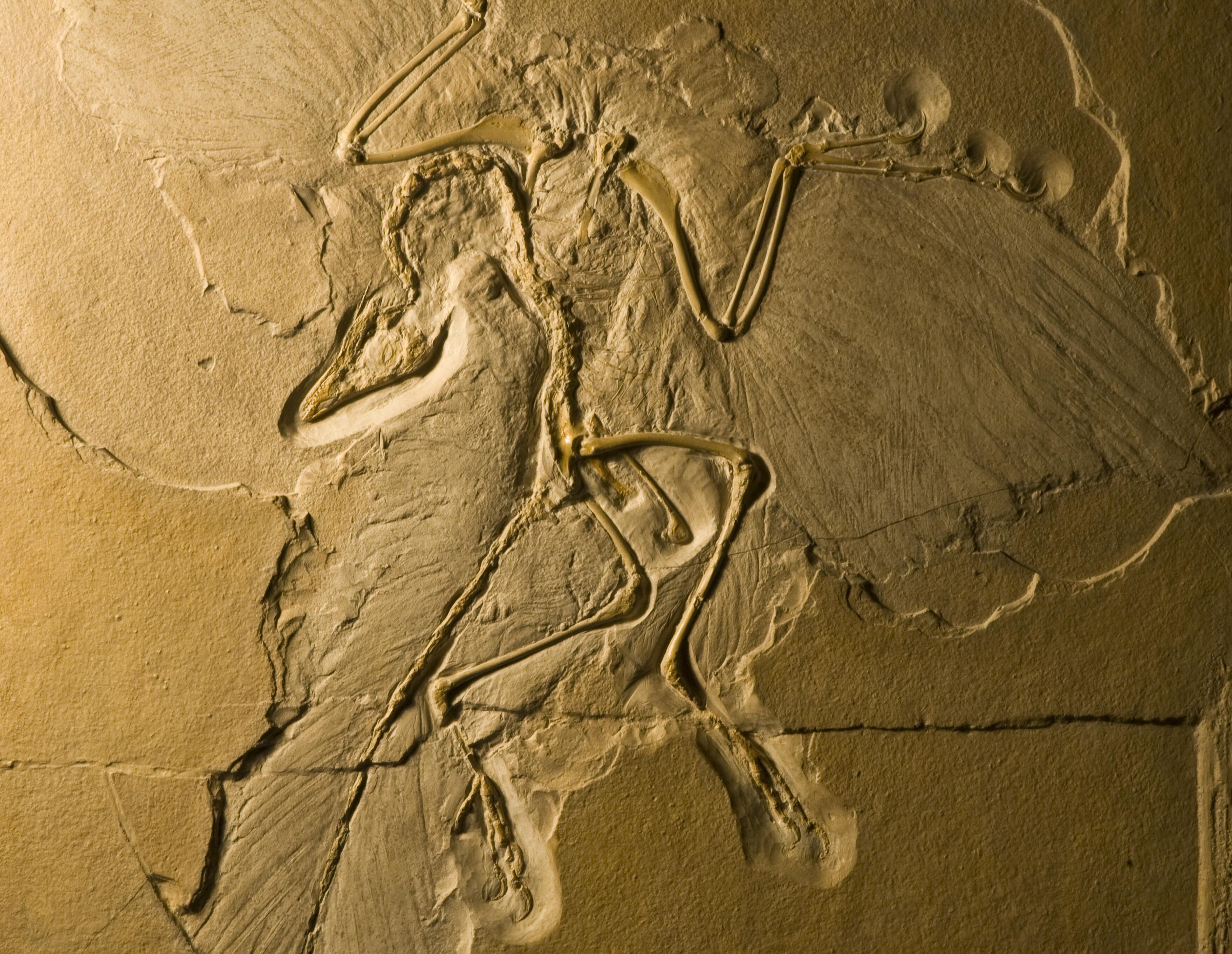 New fossil determines Archaeopteryx wore 'feathered trousers'