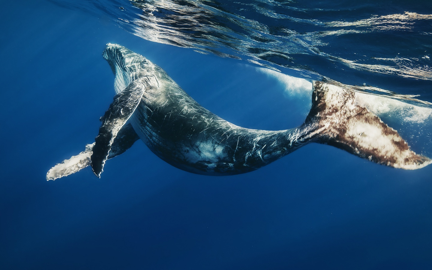 Whales are the main engineers of ocean's ecosystems, says experts